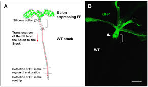 scion plant swept away protein mobility in the phloem plant cell