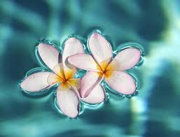 floating flowers floating plumeria flowers photograph by m swiet productions