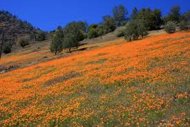 wild flowers in wild meadows top 10 locations of california poppy meadows and fields