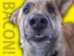 Dog Bacon Meme - ultimate dog tease youtube