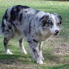 what does a australian shepherd look like does my aussie look like it u0027s mixed
