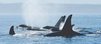 follow the whale trail san juan islands washington visitors