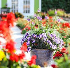 dining room petunia container ideas the graceful gardener s