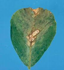 Australasian Plant Disease Notes - annual medicago from a model crop challenged by a spectrum of