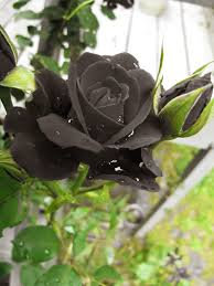 real black roses 19 sophisticated black flowers for your unique garden black