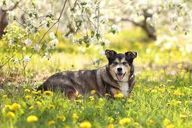 australian shepherd x pitbull australian shepherd husky mix husky aussie ultimate home life