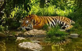 a sad tiger in the jungle