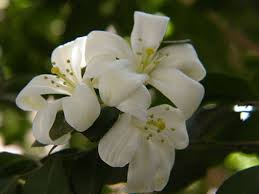 Which Jasmine Plant Is Most Fragrant - orange jasmine murraya paniculata a member of the citrus family