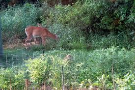 Deer Proof Fence For Vegetable Garden Delighful How To Keep Deer Out Of The Garden In Design Inspiration