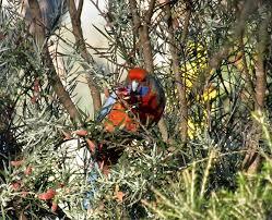native plants adelaide crimson rosella archives trevor u0027s birding trevor u0027s birding
