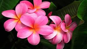 plumeria flowers plumeria flowers pink background 2560x1600 wallpapers13