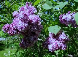 Fragrant Flowers In Memoriam Fragrant Flowers For My Mother Jean U0027s Garden