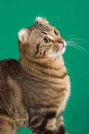 9450 best american curl cat images on pinterest american curl