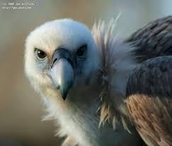 Seeking Vulture Beautiful Vulture Ii