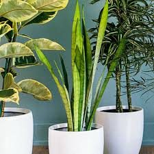 9 super chic houseplants snake plant plants and houseplants