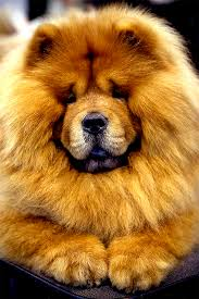 chow chow x belgian malinois chow chow dog breed information pictures characteristics u0026 facts