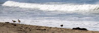 rewilding santa monica u0027s thoroughly artificial beach kcet