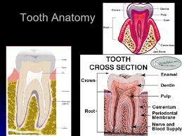 Dog Tooth Anatomy Companion Animal Dentistry Kk