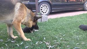 belgian shepherd oregon german shepherd daddy meet the puppies youtube