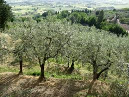 112 best olive trees and products images on pinterest olives