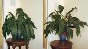 peace plant peace plant spathiphyllum our house plants