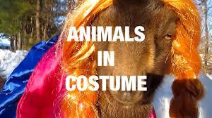 animals wearing fun costumes youtube