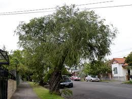 tree identification agonis flexuosa peppermint tree