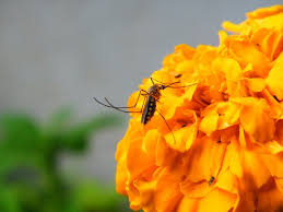 Flowers That Keep Mosquitoes Away Natural Mosquito Repellents Plants Which Keep Insects Away