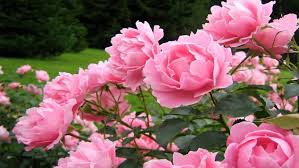 carnation flowers pink carnation flowers wallpapers13