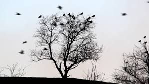 a large flock of black birds migrating from tree to tree and
