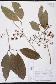 florida native aquatic plants syzygium cumini species page isb atlas of florida plants