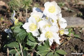 helleborus niger how to plant and care plantopedia