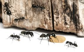 Ants In Bathtub Control And Treatments For The Home Yard And Garden