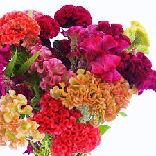 celosia flower celosia supercrest mix organic harris seeds
