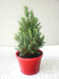 miniature christmas tree lights enjoyable real mini christmas tree most lights of love rosemary the