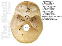 Floor Of The Cranium Dem Bones Skull Cranial Floor Answers