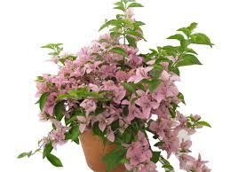 high heat plants bougainvillea care instructions billy heromans flowers u0026 gifts