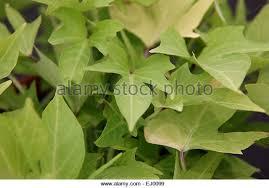 sweet potato vine stock photos sweet potato vine stock images