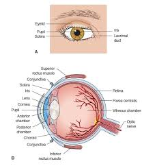 Eye Ducts Anatomy Eye And Ear Anatomy And Physiology Review Diseases Of The Human Body