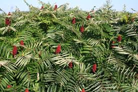 staghorn sumac a tree for all seasons gardening in tune with