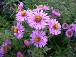 plants native to new england how to grow asters gardening asters growing asters