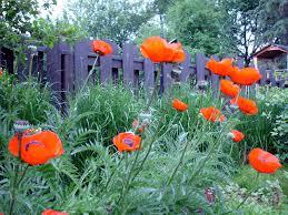 Flower Garden App by Oriental Poppy Plants U2013 Learn How To Care For Oriental Poppies