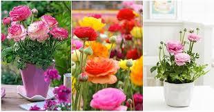 Ranunculus Flower This Season Bring Home Beautiful Blooming Bulbs Ranunculus Flower