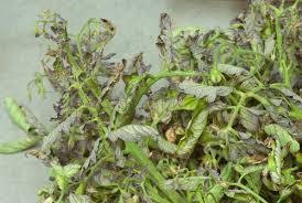 Plant Diseases Identification - tomato plant disease giantveggiegardener