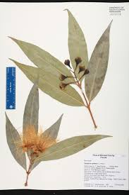 melbourne native plants herbarium specimen details isb atlas of florida plants