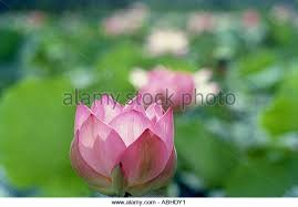 Asian Lilies Asian Lilies Stock Photos U0026 Asian Lilies Stock Images Page 12