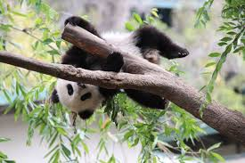 san diego zoo u0027s giant pandas have first breeding encounter of the
