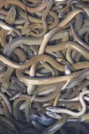 cuisiner l anguille recette des anguilles aux herbes fraiches