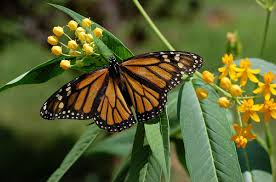 monarch butterfly simple english wikipedia the free encyclopedia
