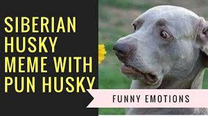 Siberian Husky Meme - siberian husky meme with pun husky my place pinterest husky